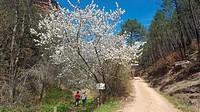 A cherry tree in blossom. The Ravine of Montesinos. Alto tajo Natural Park. Cobeta town, Guadalajara province, Spain