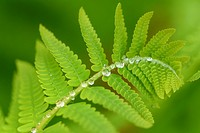 Interrupted Fern (Osmunda claytoniana) Fronds with rain drops, Greater Sudbury, Ontario, Canada.