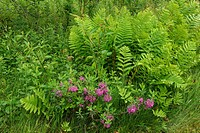 Sheep laurel (Kalmia anguvstifolia) in bloom with Interrupted fern (Osmunda claytoniana), Greater Sudbury, Ontario, Canada.