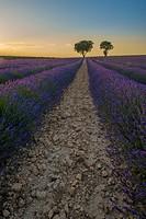 Lavender fields in Brihuega Guadalajara. Spain.