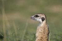 Suricate (Suricata suricatta), Kgalagadi Transfrontier Park, Kalahari desert, South Africa/Botswana.