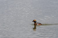 A Slavonian grebe (Podiceps auritus) is swimming on Lake Myvatn in Northeast Iceland.