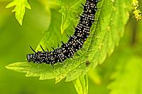 Caterpillar of peacock butterfly on stinging nettle in Germany