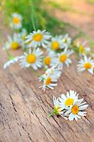 Chamomile flowers on wooden table in summer.