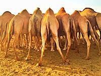 Back view of a flock of camels.
