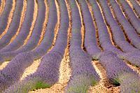 Landscape with fields of lavanders in the Rincón de Ademuz region. Valencia.