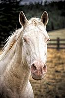 A close up portrait of a beautiful white horse in north Idaho.