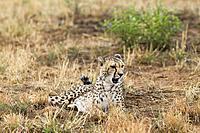 A Lying cheetah