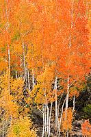 Fall color along Bishop Creek, Inyo National Forest, Sierra Nevada Mountains, California USA.