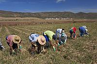 Ecological agriculture, Onions, Navahermosa - Sierra de Yeguas, Malaga-province, Region of Andalusia, Spain, Europe.