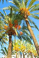 Date palm (Phoenix dactylifera) in the palm forest known as El Palmeral. Elche, Alicante, Spain.