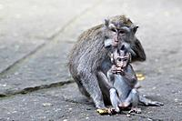 Long-tailed macaque (Macaca fascicularis) with her baby. Sacred Monkey Forest Sanctuary, Ubud, Bali, Indonesia.