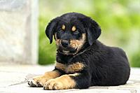 Close up of a Rottweiler puppy lying outdoors.