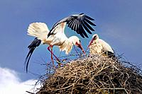 Nest and couple of storks. Flix, Tarragona, Catalonia, Spain.