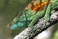 Male Panther Chameleon (Calumma parsonii), (Chameleonidae), endemic to Madagascar, Andasibe National Park, Madagascar.