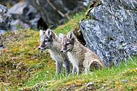 Arctic fox / white fox / polar fox / snow fox (Vulpes lagopus / Alopex lagopus) two kits waiting at den entrance on the tundra in summer