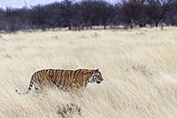 South Africa, Private reserve, Asian (Bengal) Tiger (Panthera tigris tigris), female adult walking.