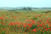 Grain fields in Titaguas with poppies in spring. Valencia. Spain