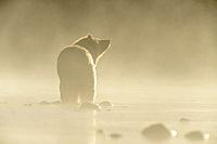Grizzly bear (Ursus arctos)- Yearling cub wading shallows of the Chilko River, watching for spawning sockeye salmon. Chilcotin Wilderness, British Col...
