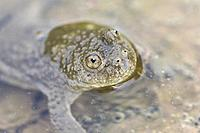 Yellow-bellied toad (Bombina variegata), portrait of an adult in water, Mattheiser Wald, Trier, Rhineland-Palatinate, Germany.