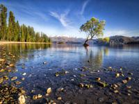 Lone willow tree growing in lake wanaka at sunrise. Lake Wanaka, South Island, New Zealand.