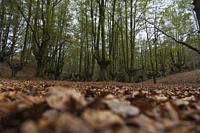 Beech forest called Otzarreta, Gorbeia natural park, Basque country.