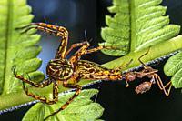 A red ant attacking a lynx spider. Image taken at Kampung Skudup, Sarawak, Malaysia.