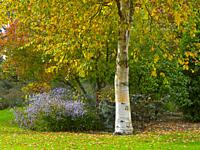 Silver birch and other Autumn foliage at Bressingham Gardens Norfolk October.