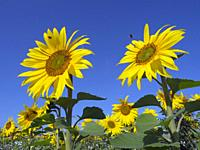 Sunflowers in bloom on Norfolk Farmland grown as game feed for forthcoming shooting season.
