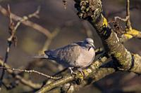 France, Alpes-Maritimes, Mandelieu, Eurasian Collared Dove (Streptopelia decaocto) on the branch of a tree.