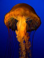 Glow of the Jellyfish in Aquarium