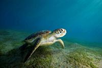 green sea turtle (Chelonia mydas) swim over sandy bottom with sea grass.