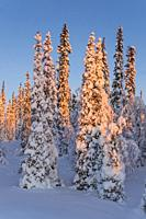 Winter landscape in sunset with nice blue color in the sky, snowy trees and plenty of snow, Gällivare, Swedish Lapland, Sweden.
