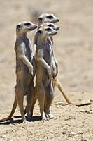 Standing meerkats (Suricata suricatta), on guard, Kgalagadi Transfrontier Park, Northern Cape, South Africa, Africa.