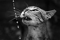 cat drinks water, close-up.
