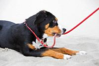 Young Greater Swiss Mountain Dog / Grosser Schweizer Sennenhund lying in sand on the beach and biting rope leash