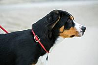 Young Greater Swiss Mountain Dog / Grosser Schweizer Sennenhund with rope leash on the beach