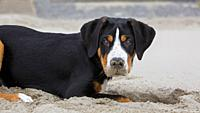 Young Greater Swiss Mountain Dog / Grosser Schweizer Sennenhund digging a hole in sand of sandy beach along the coast