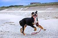 Young playful Greater Swiss Mountain Dog / Grosser Schweizer Sennenhund playing with rope leash on the beach along the coast