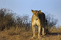 African lion (Panthera leo), lioness standing on the top of the sand dune, alert, evening light, Kgalagadi Transfrontier Park, Northern Cape, South Af...