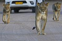 African lions (Panthera leo), lioness with two young males walking on a dirt road at dusk, tourist vehicle behind, Kgalagadi Transfrontier Park, North...
