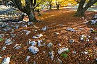 Beech forest in autumn at Cerredo Mountain, Cantabrian Sea, MONTAÑA ORIENTAL COSTERA MOC, Castro Urdiales, Cantabria, Spain, Europe.