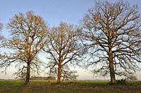 isolated oak trees on the edge of the Forest of Rambouillet, Haute Vallee de Chevreuse Regional Natural Park, Department of Yvelines, Ile de France Re...