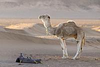A dromedary at sunrise, Zagora desert, Morocco, Africa.