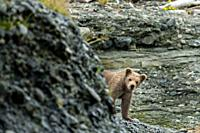 A Brown bear spring cub peeks out from behind a bluff on the beach at the lower lagoon at the McNeil River State Game Sanctuary on the Kenai Peninsula...