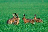 Group of European brown hares on a grain field in spring.