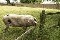 Black spotted sow with floppy ears and upturned snout sniffing the air behind a fence in Gloucestershire, England.