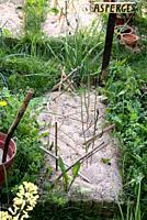Asparagus, culture into sand