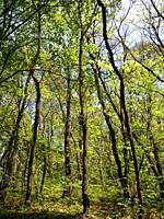 Young chesnut trees forest at springtime