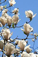 Magnolia SAYONARA.